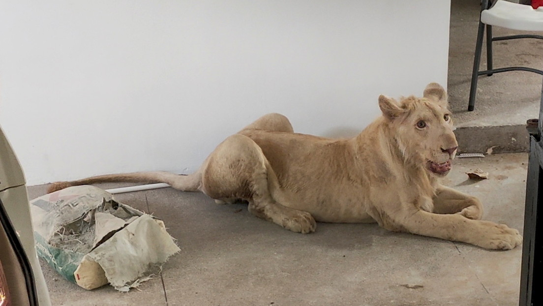 PHOTOS: TikTok Videos Rescue a Lion Raised as a Pet from a House in Cambodia