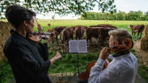 Classical music concerts for cows in Denmark
