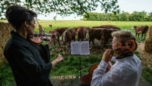 Classical music concerts for cows in Denmark - RFI