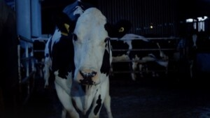 """""""Cow"""", the film that made people leave the room at the Cannes Film Festival"""