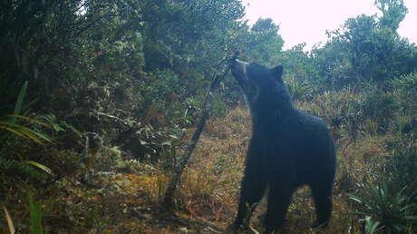 La découverte au Venezuela de deux oursons Jukumari, le seul ours indigène d'Amérique du Sud, redonne espoir aux protectionnistes